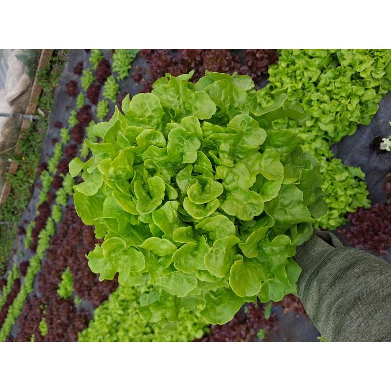 Lettuce, Green (pc) Ireland