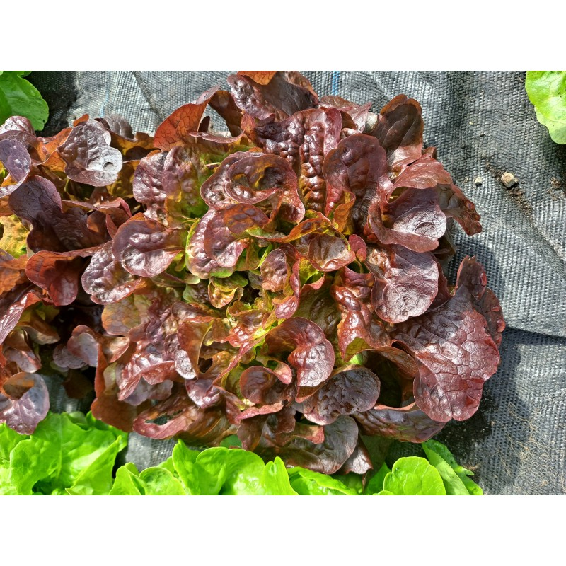 Lettuce, Red (pc) Ireland