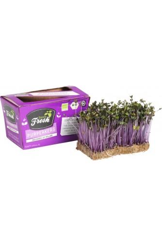 Purple Cress - Holland