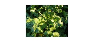 Heritage Kale (250g) Ireland