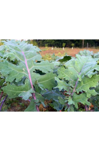 Red Kale (250g) Ireland