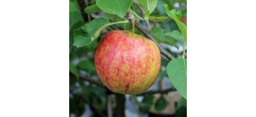 Apples (10kg) Argentina