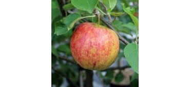 Apples (1kg) Argentina